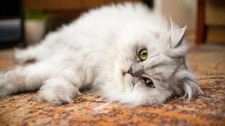 gato persa deitado