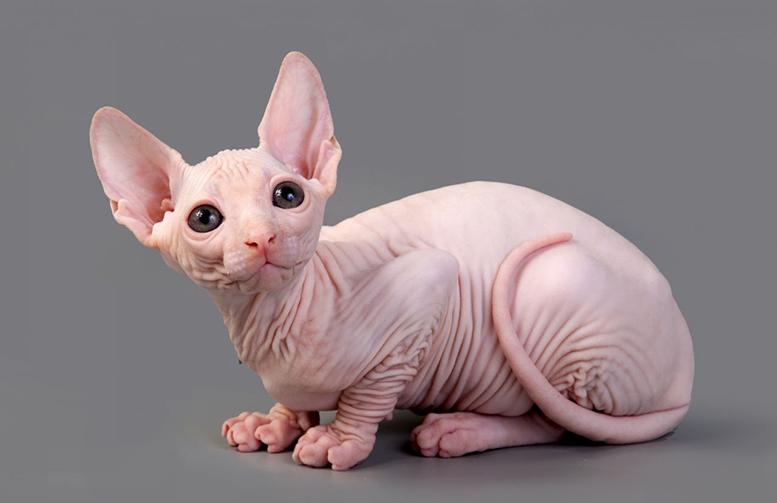 O gato Sphynx é uma raça curiosa que nasce sem pelos.