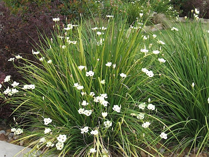 Cultivo da Flor Moreia