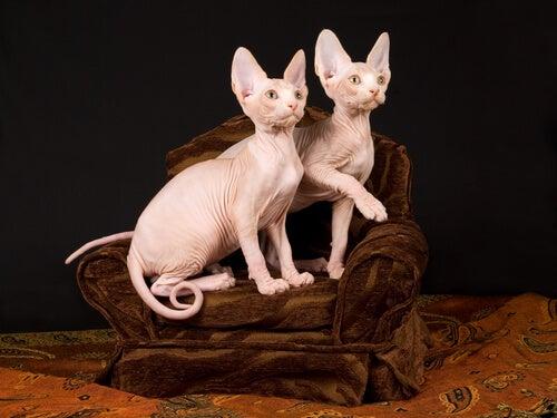 Gatos Sphyxs nascem sem pelo devido a uma mutação de genes.