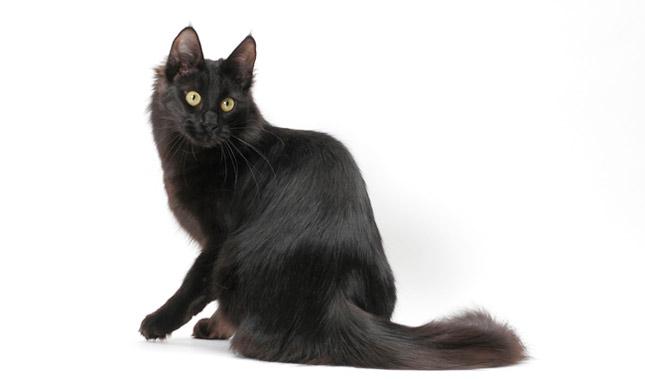 Os gatos angorá podem ser de uma infinidade de cores