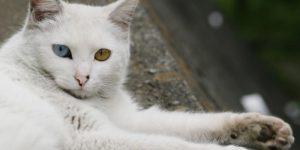 O gato angorá tem origem turca e pode ter olhos de duas cores.