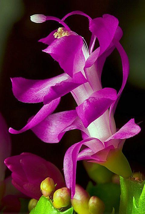 Flor de Maio Características