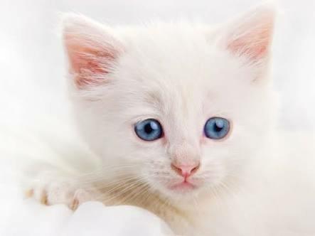 gatos angorás brancos de olhos azuis costumam ser surdos de nascimento.