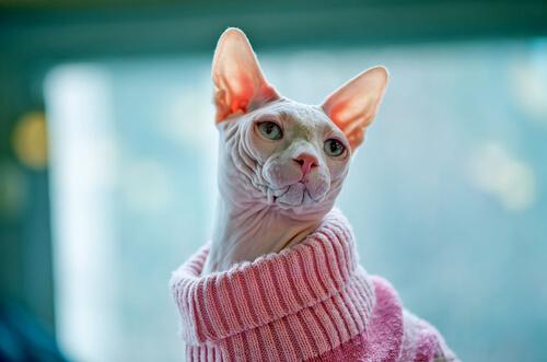 É importante manter o seu Gato Sphynx aquecido durante o inverno.