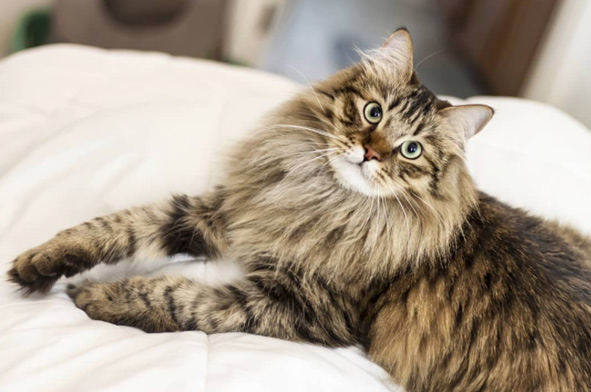 o Gato Siberiano é de origem Russa e extremamente peludo