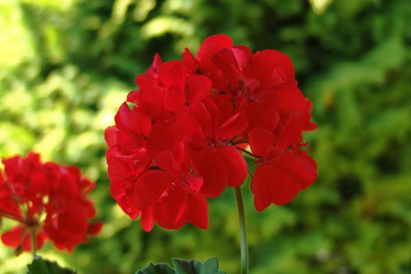 Gerânio - Como cultivar essa flor? Dicas, Características e Significado!
