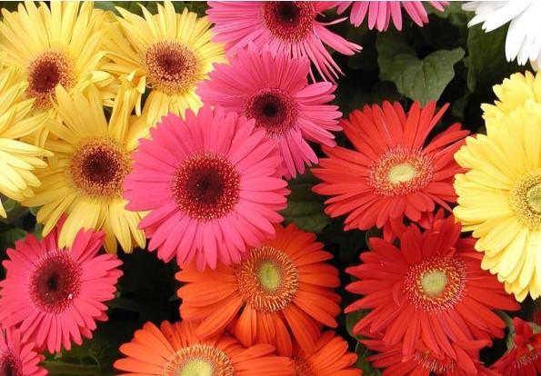 Gérbera - Como cultivar essa flor? Dicas, Características e Significado!
