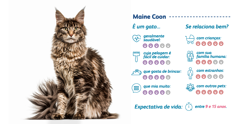 Maine Coon características