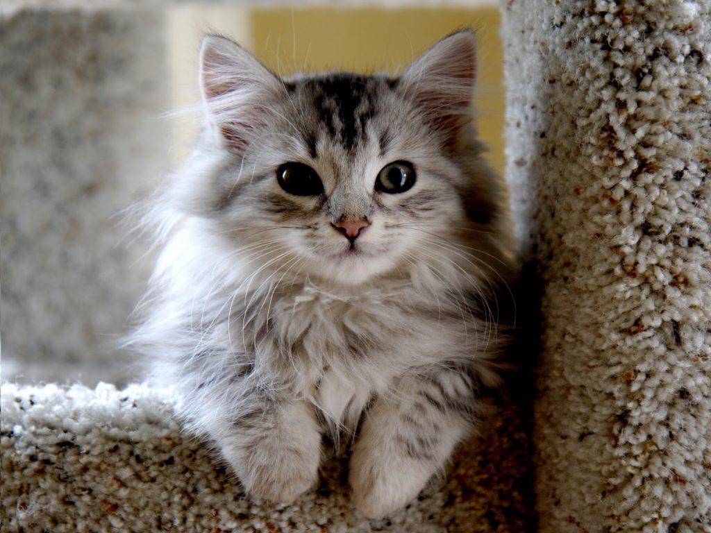 Os gatos siberianos podem levar até 5 anos para atingir o amadurecimento completo.